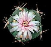 Cactaceae Portfolio II:  Gymnocalycium (South America)