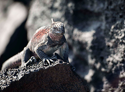 A different variety of iguana on the black rocks of the Island.