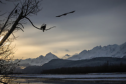 Bald eagles (Haliaeetus leucocephalus) survey the Chilkat River from a tree as another  bald eagle flies by above the Chilkat River in the Alaska Chilkat Bald Eagle Preserve near Haines, Alaska. During late fall, bald eagles congregate along the Chilkat River in the Alaska Chilkat Bald Eagle Preserve to feed on salmon in what is believed to be the largest gathering of bald eagles in the world.