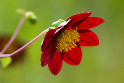 Backlit species dahlia