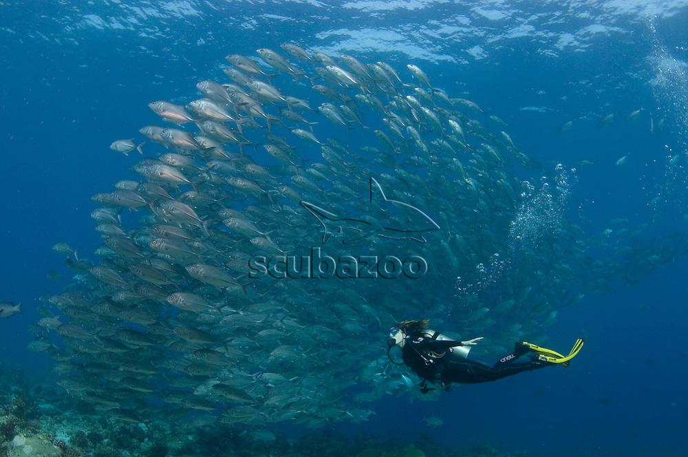 Diver and school of Bigeye Trevallies, Caranx sexfasciatus, over reef, profile, side view, Vaavu Atoll, The Maldives