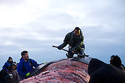 Whaling captain Joseph Sage butchers the second whale caught in this year's fall whaling season in Barrow, AK on September 22, 2014 with other community members.