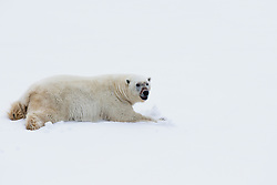 A content male polar bear (Ursus maritimus) laying flat down in the snow after he finished gorging on a seal kill, Svalbard, Norway, Arctic