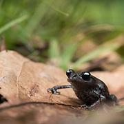 Tenasserim Spadefoot Toad (Leptobrachium tenasserimense) in Kaeng Krachan national park, Thailand