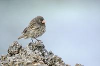 Sharp-beaked Ground Finch, Geospiza difficilis on Genovesa Island in Galapagos National Park, Ecuador.