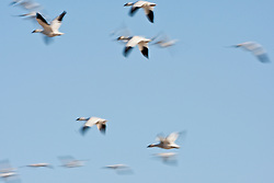 Snow geese (Chen caerulescens) in flight, Bosque del Apache National Wildlife Refuge, New Mexico, USA