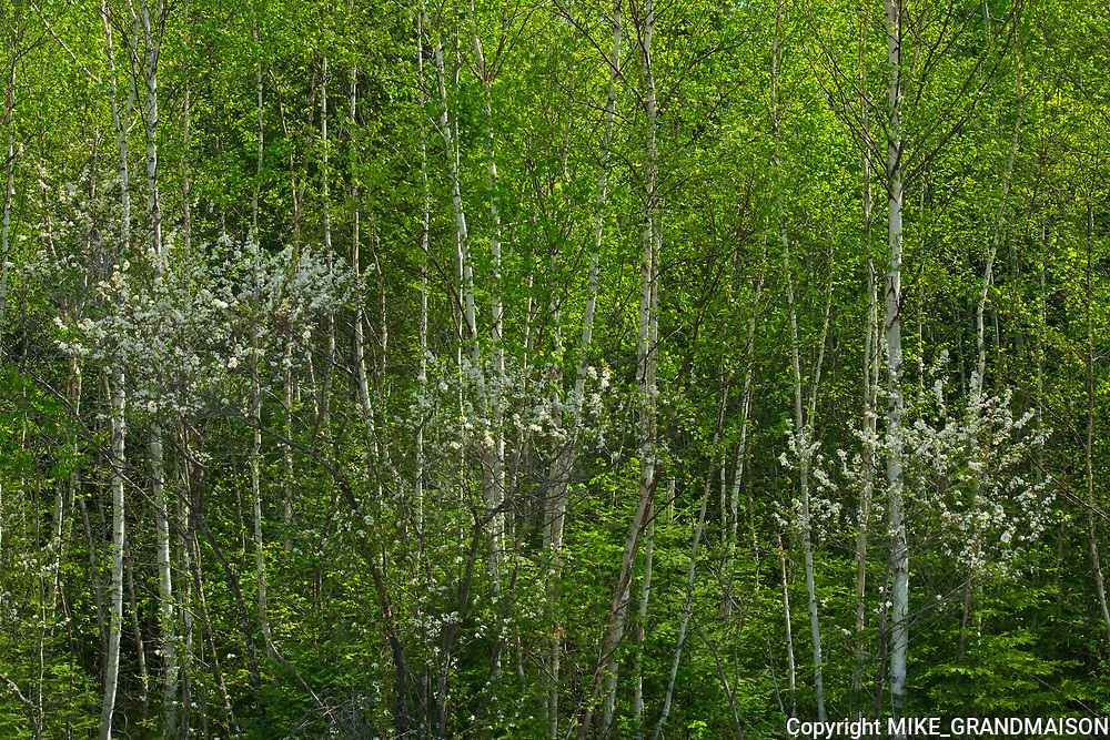 Cherry blossoms in spring. Boreal forest<br />Ear Falls<br />Ontario<br />Canada