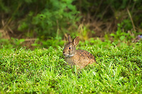 This short-eared and truly aquatic rabbit is known for swimming across ponds and swamps with only nose and eyes above the waterline.