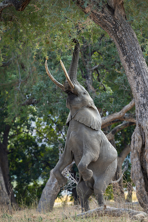Boswell, the King of Mana Pools, rises on his hind legs to reach leave high up in the Anna trees.