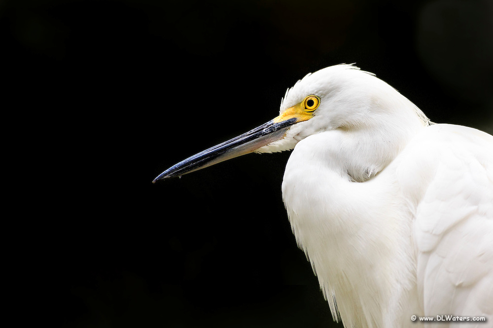 Head and shoulder shot of a snowy egret.