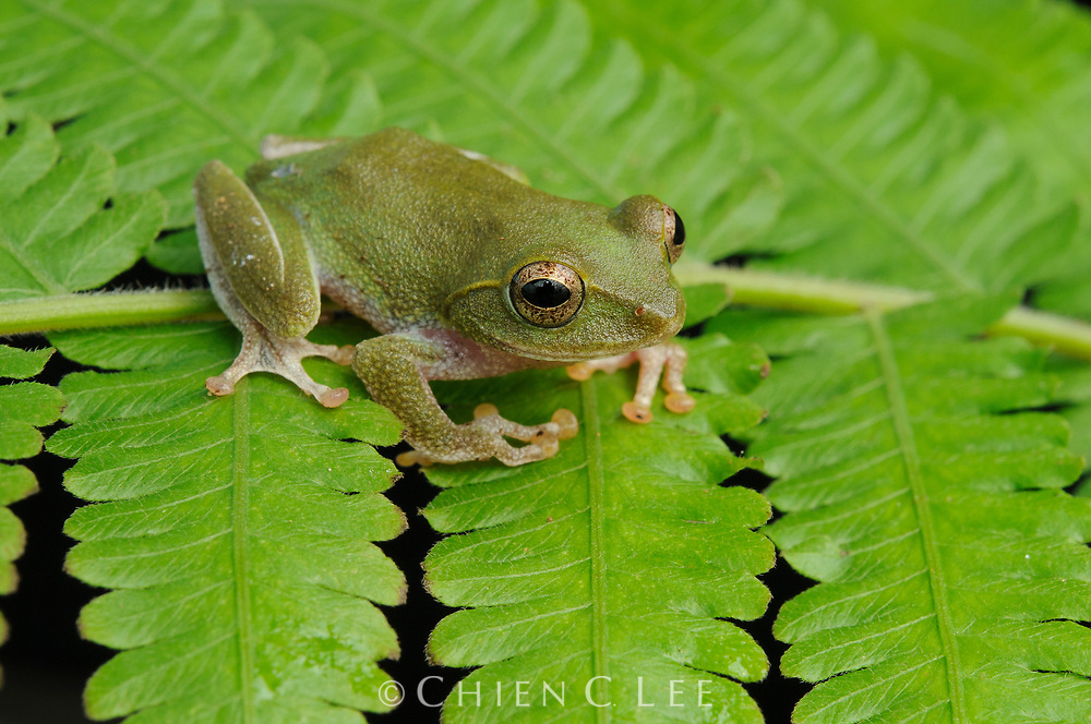 A small shrub frog (Pseudophilautus sp.) from the montane forests of Sri Lanka. Central Province, Sri Lanka.