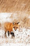 CANADA, Churchill (Hudson Bay).Red fox (Vulpes vulpes)