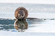 Muskrat Reflection. Nice of this little guy to come in close for a portrait while spending some time on the side of the Snake River.  The muskrat (Ondatra zibethicus), the only species in genus Ondatra and tribe Ondatrini, is a medium-sized semiaquatic rodent native to North America and an introduced species in parts of Europe, Asia, and South America. The muskrat is found in wetlands over a wide range of climates and habitats.