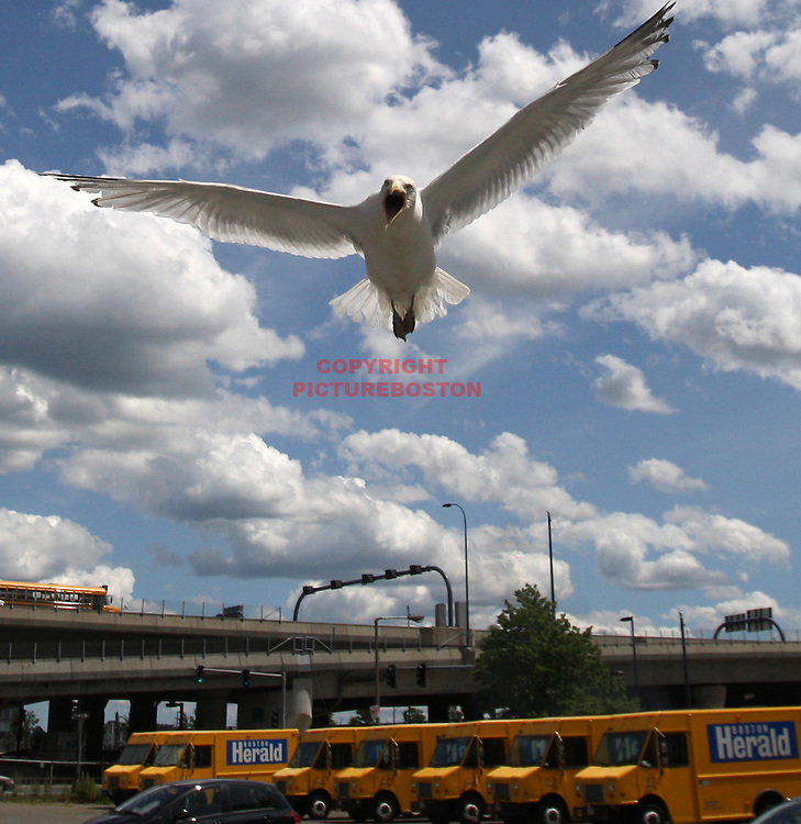 (07/14/09-Boston,MA) Dive Bombing Seagull.... Boston Herald parking lot..Mark Garfinkel photo