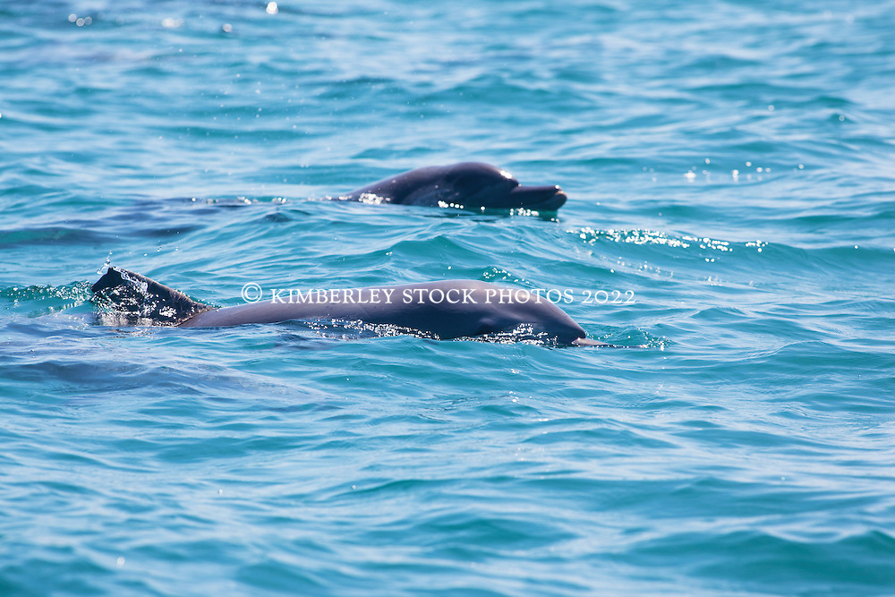 A pair of Bottlenose dolpins (Tursiops trunccatus) off Coconut Well north of Broome.