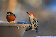 Red-breasted woodpecker and American Robin at a heated birdbath in winter