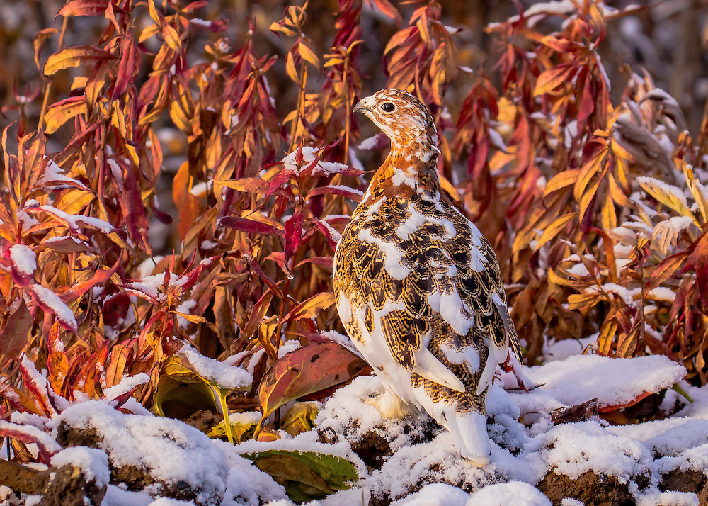 Alaska.  An adult Willow Ptarmigan (Lagopus lagopus) in early moring light standing on stones covered with new snow next to a group of fireweed stalks with bright red leaves in Denali National Park in September.