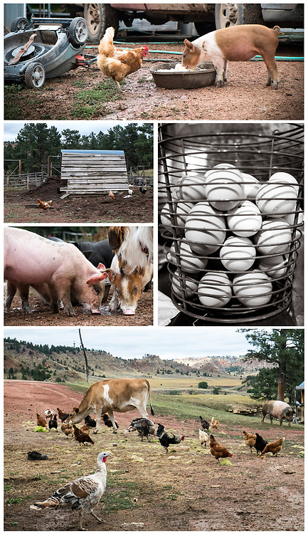 (Top to Bottom, Left to Right) A Buff Orpington Chicken and a Mule Footed Pig share their evening meal; Chickens; Pasture Raised Eggs; Heritage Mule Footed Pigs; At EZ Rocking Ranch the all the animals eat together | August 23, 2014