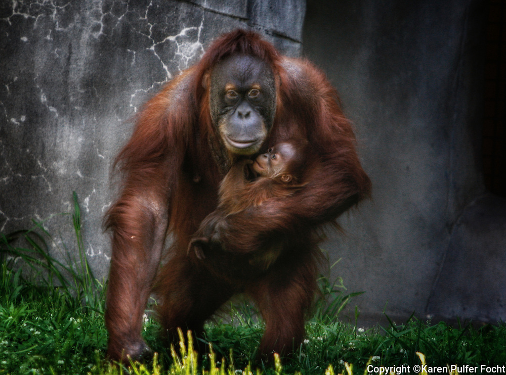 """A baby Orangutan, Rowan, was born on March 19, to """"Jahe"""" and """"Tombak"""" at the Memphis Zoo. Jahe required a Caesarean section. Keepers cared for the baby for 11 days before he got to meet his mother, who has since embraced motherhood. The baby weighed 5.4lbs at birth.  He and Jahe have been inseparable."""