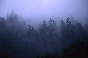 Fog in Evergreen Trees<br />