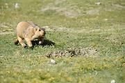 Himalayan marmot or Tibetan snow pig, Marmota himalayana Photographed in India, Jammu and Kashmir, Ladakh, Leh in August