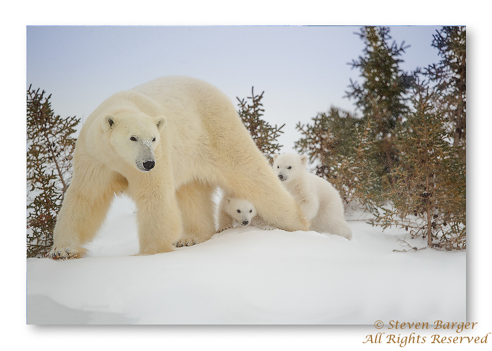 Polar Bear Cubs keeping close to their mother in Wapusk National Park south of Churchill Manitoba Canada near the Hudson Bay.