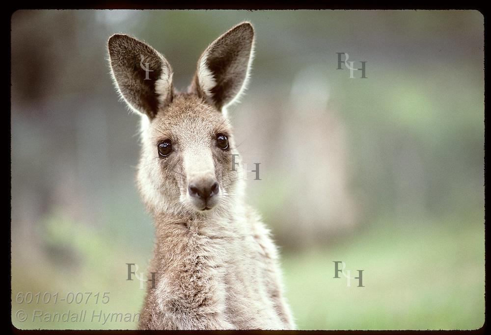 Ears perked, wallaroo, or euro, looks into lens for a close head portrait; (h) Wagga Wagga, NSW. Australia