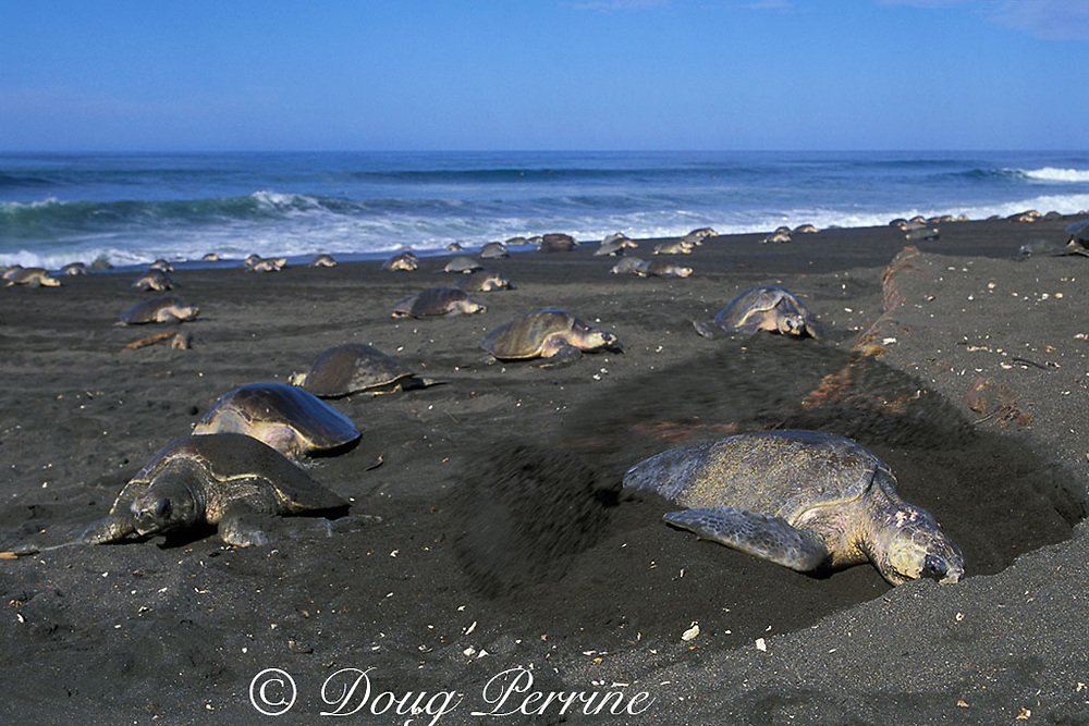 nesting female olive ridley sea turtle, Lepidochelys olivacea, digs body cavity for nest while hundreds of others crowd beach during arribada or mass nesting, Ostional, Costa Rica ( Pacific )