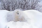 Polar bear (Ursus maritimus) shaking snow off on frozen tundra<br /> Churchill<br /> Manitoba<br /> Canada