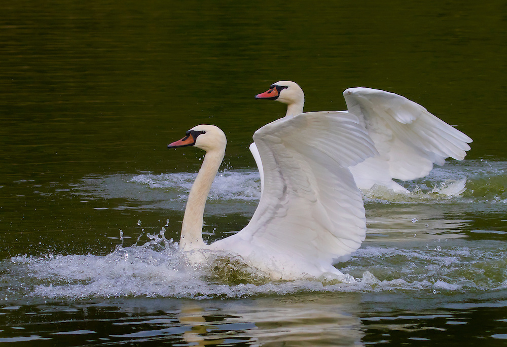 Two rather impressive looking swans have just landed.