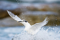 Sandwhich Tern taking off from the sea surface, Table Mountain National Park, Western Cape, South Africa