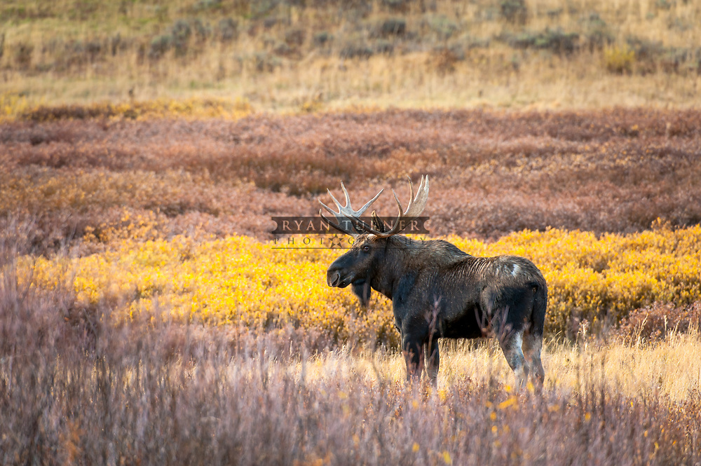 Bull Moose in the fall in Montana.  Limited Edition - 75