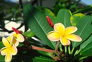 Plumeria<br />