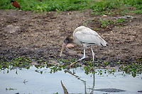 Wood Stork, (Mycteria americana) foraging along edge of wetland, The Pantanal, Mato Grosso, Brazil