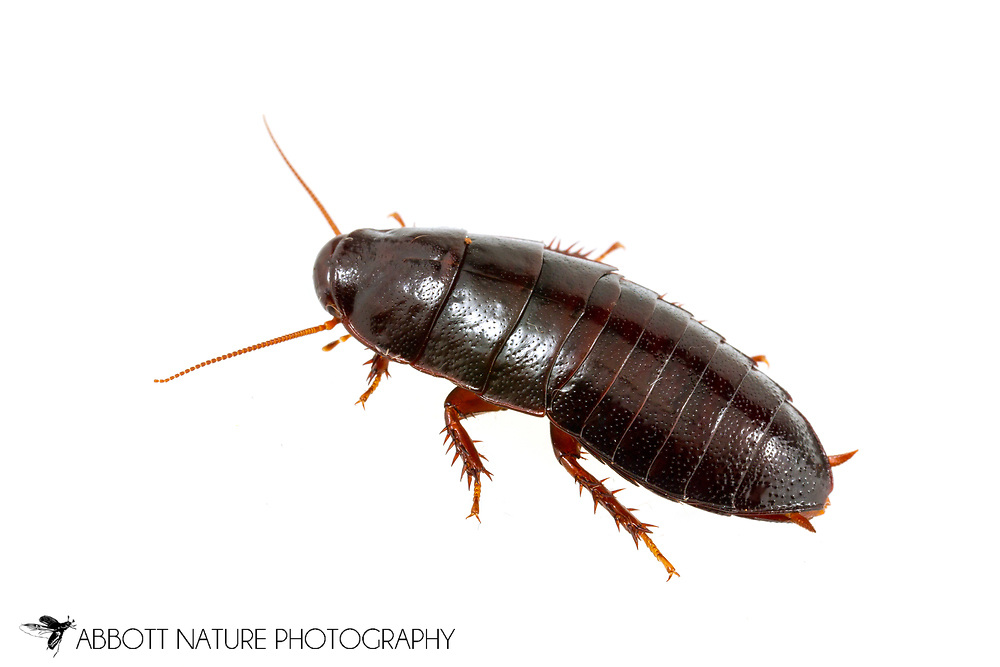 Roach (Cryptocercus darwini)<br /> TENNESSEE: Pickett Co.<br /> Big South Fork National River &amp; Recreation Area<br /> Rocky gorge near Slave Falls in rotting logs<br /> 14-May-2017<br /> J.C. Abbott