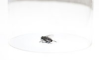 Dead housefly trapped under glass over white background