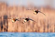 Redheads, Aythya americana, Harsen's Island, Michigan