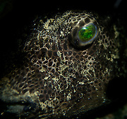 A Cowfish looks on. In the Philippines, muck divers head straight to Dauin to begin the hunt. It is considered one of the premier muck diving locations on the planet. On a bad day at Dauin, you can spot more rare animals than a decade out on the reef...