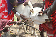 Africa, Tanzania, Lake Eyasi, Maasai men bleeding a cow to produce the Blood Milk they drink. an ethnic group of semi-nomadic people February 2006