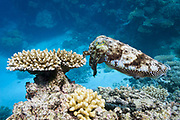 Reef or broadclub cuttlefish (sepia latimanus) and acropora cerealis coral on coral reef  - Agincourt reef, Great Barrier reef