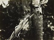 Slang verslindt een kameleon, vermoedelijk op Midden-Java. 1928 - 1932