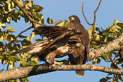 A juvenile bald eagle (Haliaeetus leucocephalus) prepares to take off from a branch while its sibling looks on. At the time of this image, these fledglings, a little over two months old, had been flying for less than one week.