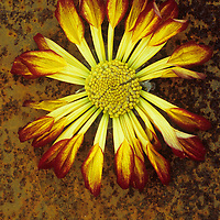 Single drying red and yellow flowerhead of Chrysanthemum lying on rusty metal sheet