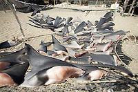 Blue shark fins drying at a shark fishing camp in Magdalena Bay, Baja, Mexico.