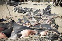 Blue shark fins drying at a shark fishing camp in Magdalena Bay, Baja, Mexico.