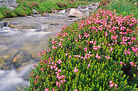 Pink heather grows beside a mountain stream.
