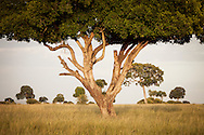Trees of the Masai Mara National Reserve, Kenya, Africa