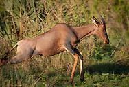 A Tsessebe antelope runs through the bush in the Okavango Delta region of Botswana.
