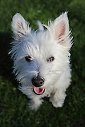MacDuff the year-old Westie (West Highland White Terrier) posing for me in the sunshine.