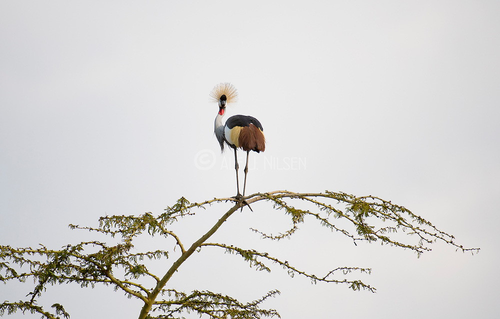 Grey-crowned Crane in a tree top at Lake Naivasha, Kenya.